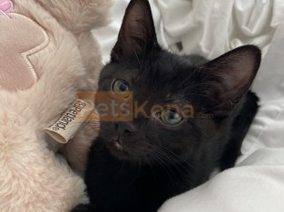 Rehoming 3 month old black kitten
