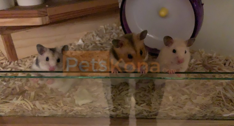 Cute female hamster