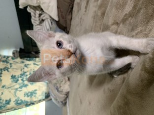 Flame Point tabby lynx kittens for sale