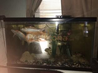 Koi Fish for Sale !