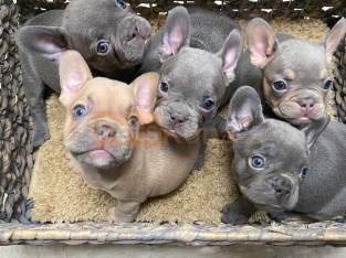 dogs and puppies for sale near by me