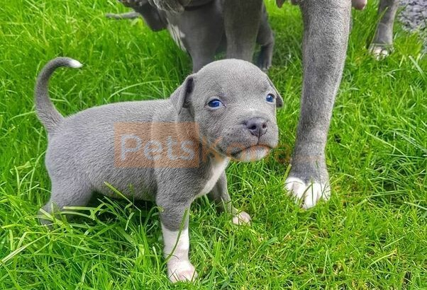 staffordshire bull terrier puppies ready now