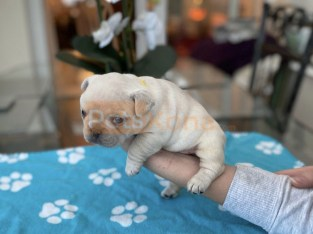 House Trained French Bulldog Puppies available