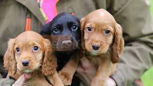 cocker spaniel puppies for sale now