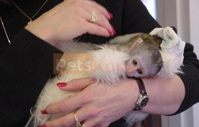 Trained Marmoset & Capuchin monkey For Sale.