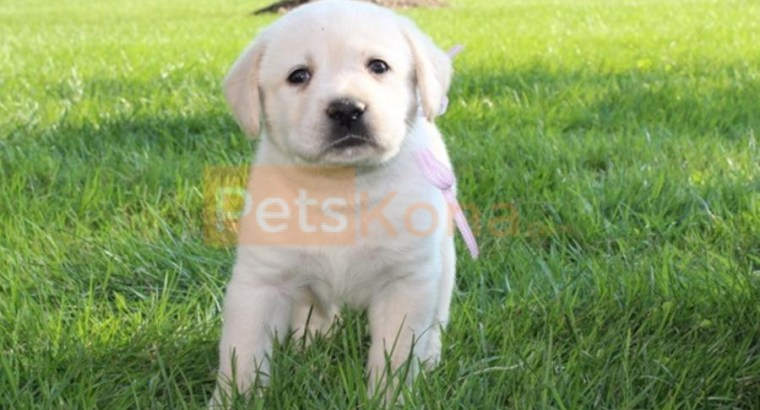 Registered English Labrador Retriever puppies for sale