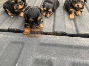 Well Tammed Yorkshire Terrier Puppies For Adoption