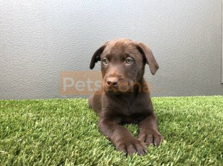 Purebred English Labrador Retriever puppies