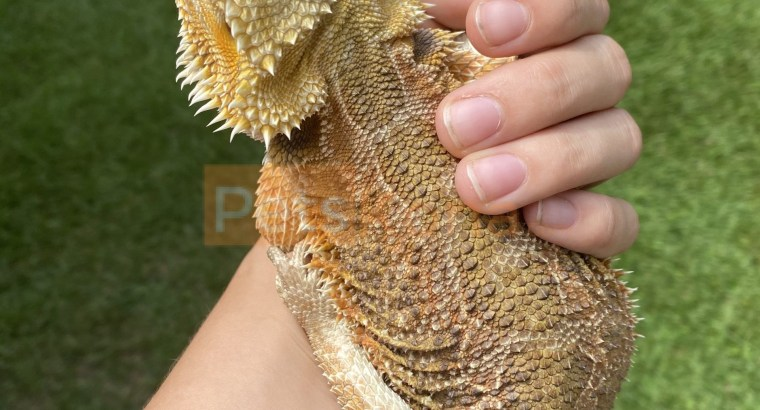 Female Bearded Dragon 1yo