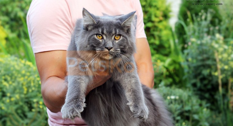 Maine Coon cattery – Big Maine Coon kitten