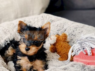 Teacup yorkie puppies Text :(551)-888-3483