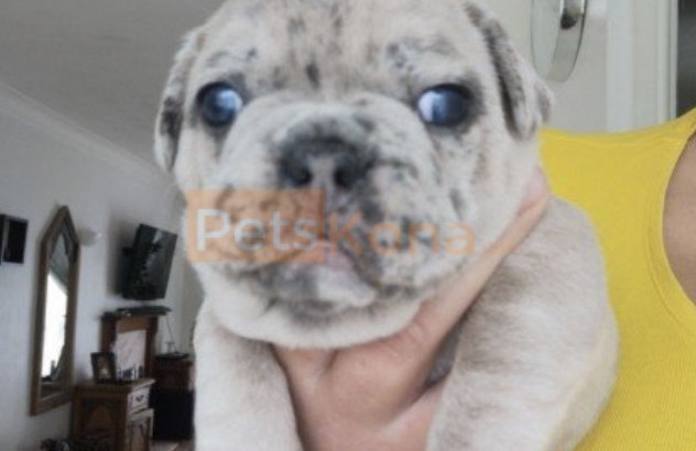 French bulldogs puppies for sale