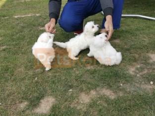 100% Pure White Maltese pups