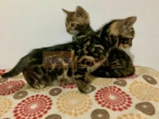 Bellissimi gattini del Bengala
