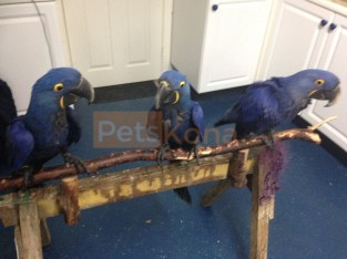 Tamed and DNA Tested Hyacinth Macaws and Blue and Gold parrots for sale