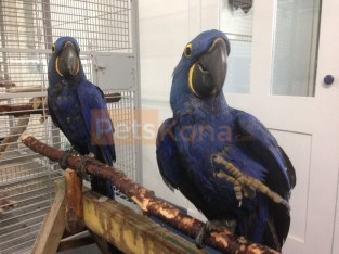 Gorgeous Hyacinth Macaw and Blue and Gold parrots for sale