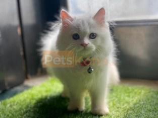 Persian Cats & Kittens