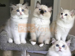 Ragdoll Kitten Available