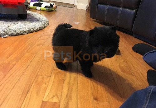 Gorgeous Pomeranian Puppies For Sale