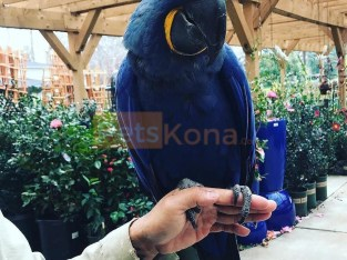 Marvelous Hyacinth Macaws and Blue and Gold parrots for sale