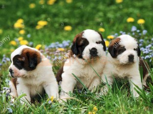 Quality Golden Saint bernard puppies for sale