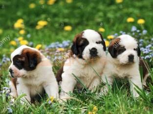Quality Golden Saint bernard puppies for sale