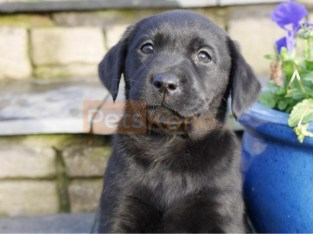 QualityLabrador Retriver Puppies For Re-homing