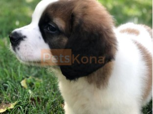 handsome Saint Bernard puppy