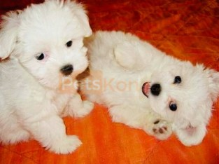 Lovely Maltese Puppies Available for re-homing Contact Now: +1(612) 568-5909