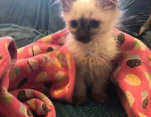 Buy Balinese kittens
