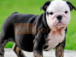 Beautiful Little English Bulldog Puppy