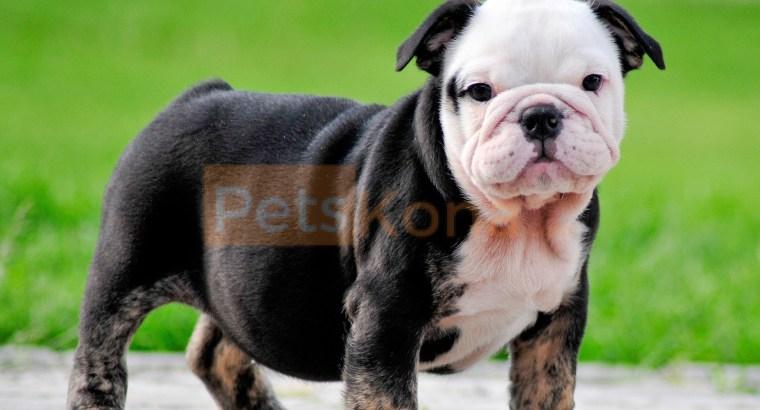 Beautiful Little English Bulldog Puppy