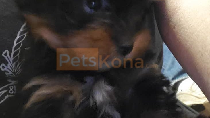 Yorkie pup looking for a new home