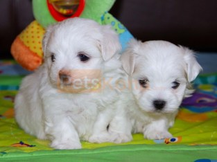 Bueatiful Litter of Maltese Puppies ready now.