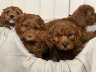 Amazing Litter of Cavapoo puppies Available .