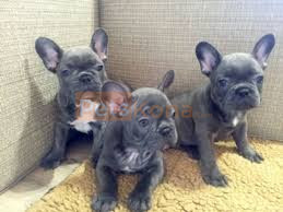 Bueatiful Litter of French Bulldog Puppies ready now.
