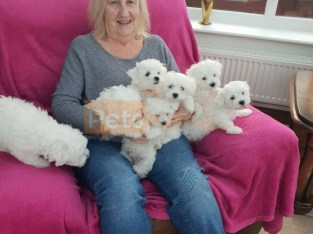 !!!!Excellent Litter of Maltese puppies Available now.!!!!!!!!!