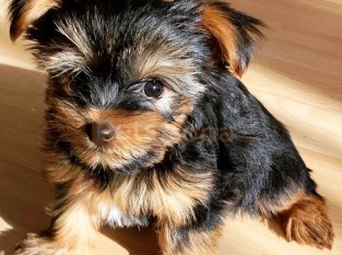 Lovely and Cute Yorkie Ready