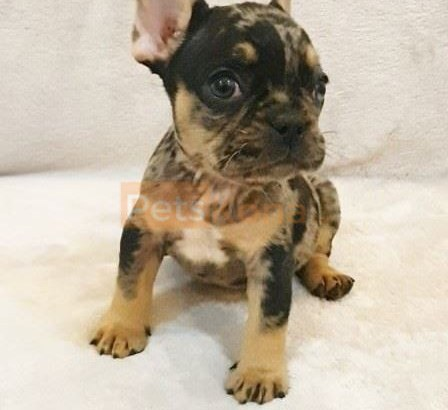 cute french bulldog puppies for rehoming