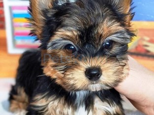 Great sweet and Charming Yorkies Available