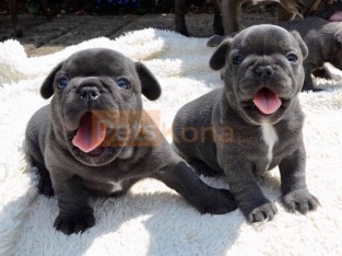 Gorgeous French Bulldog Puppies.