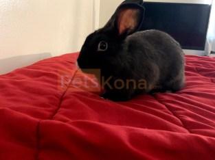 Black Dwarf Rabbit