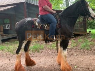 Clam Clydesdale mare 17.3 hds