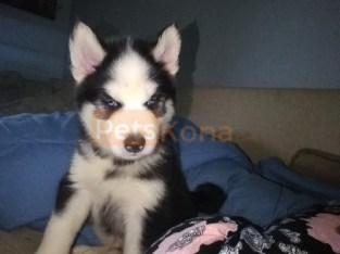 Blue Eyes Siberian Husky Puppies For Sale