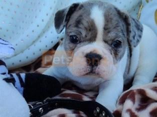 Nette entzückende französische Bulldoggenwelpen