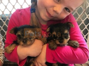 5 Pure Breed 100% Parti Color Toy Yorkies puppies