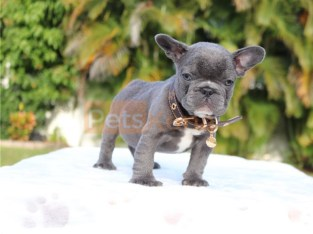 Blue 10 week old French bulldog