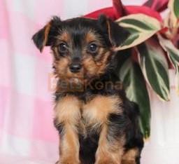 Sweet Yorkshire Terrier