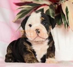 Sweet English Bulldog