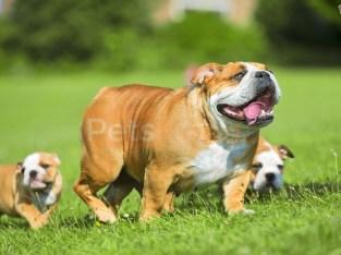 stunning English Bulls Quality Pups